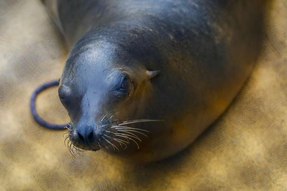 Dr. Cara Field, staff veterinarian, checks on Lysine, a California sea lion suffering from domoic acid poisoning, during a neuroscore exam to evaluate cognitive brain function at the Marine Mammal Center in Sausalito on Wednesday, August 9, 2017. Lysine's right eye was scratched likely due to rubbing it's face on sand during a seizure. Photo: Nicole Boliaux, The Chronicle