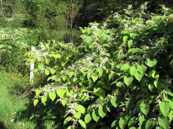 Do your best to remove invasive plants - NewsTimes