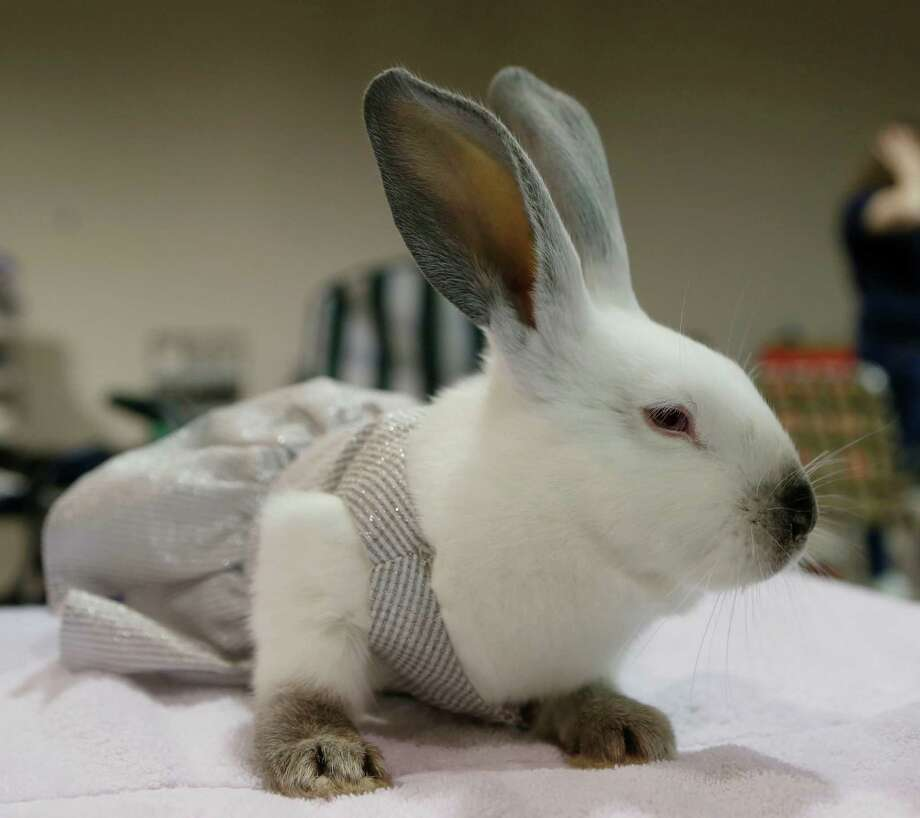 Rabbit And Cavy Costume Contest Houston Chronicle