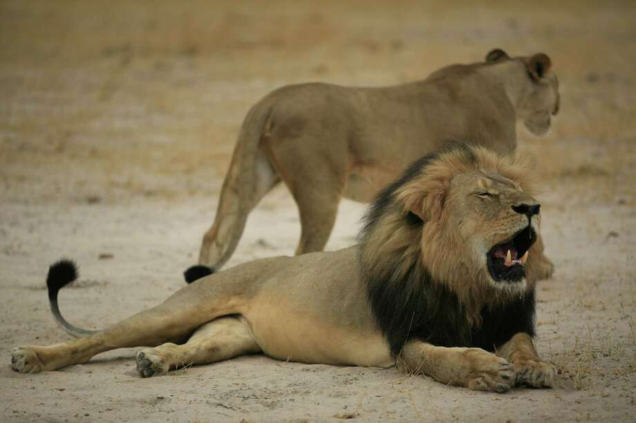 "Authorities launched an investigation in July into the killing of a Zimbabwean lion called ""Cecil"" as the American dentist who hunted the big cat remained in hiding, drawing global outrage on social media. Photo: -, Handout / AFP"