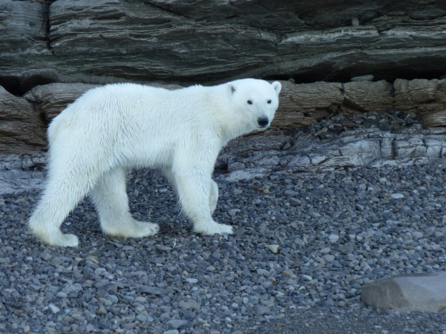 Polar bear near Port Leopold