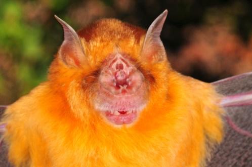 Orange leaf-nosed bat Rhinonicteris aurantia. Photo Mark Cowan