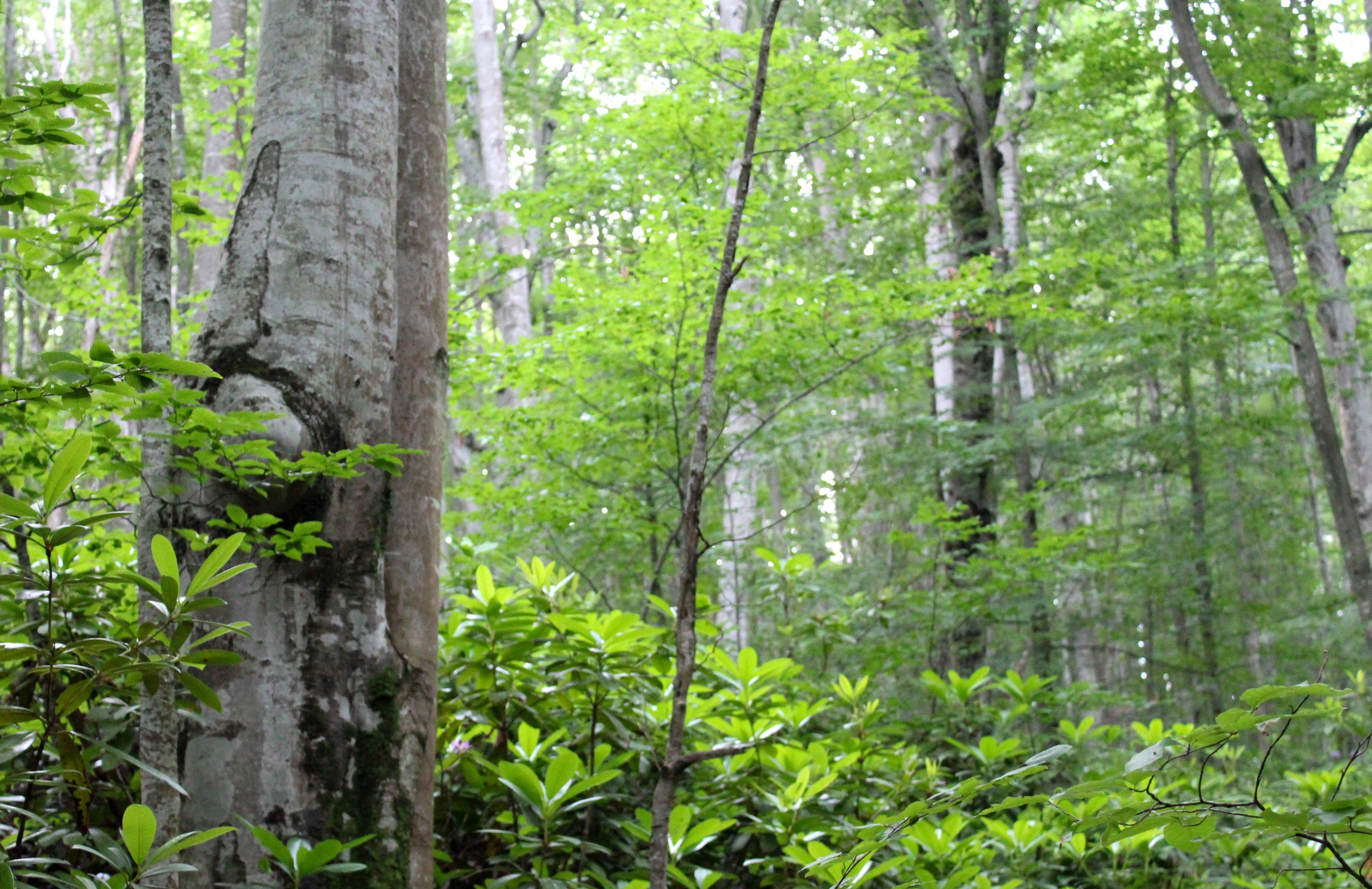 One of america's most widely known and most valuable species, black walnut has a creamy white sapwood, with heartwood that is light brown to dark chocolate brown. Virgin Forests Wwf Saving The Last Remaining In Europe Part 1 Wwf