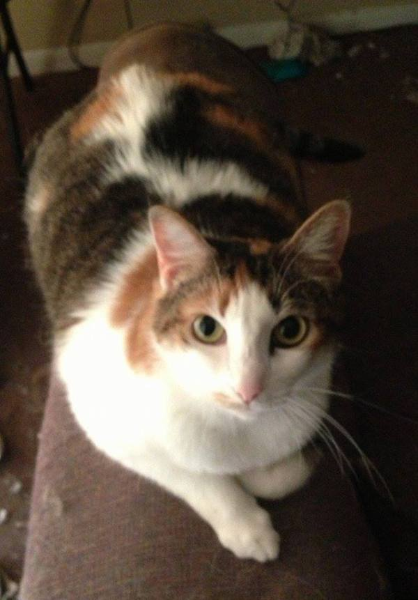 Calico Cat in Need of a Forever or Foster Home