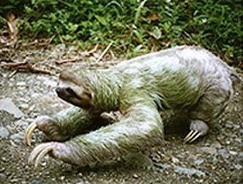 http://www-personal.umich.edu/~eca/sloth2.jpg