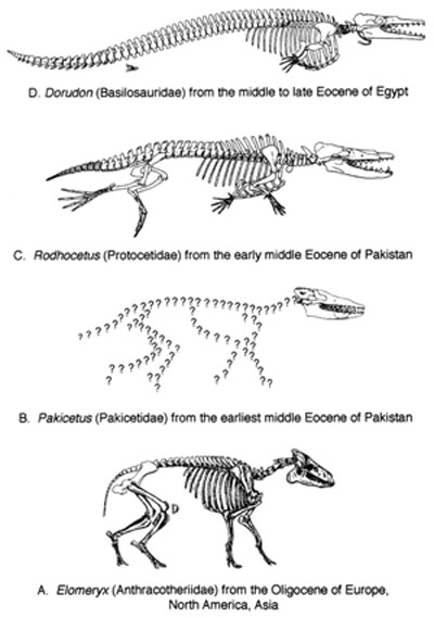 Image result for evolution of whales fossils