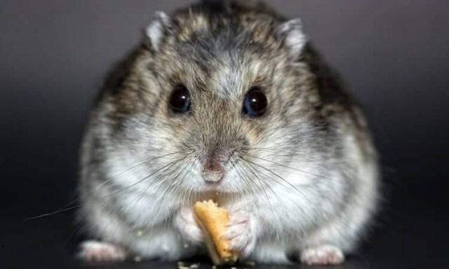 hamster comendo