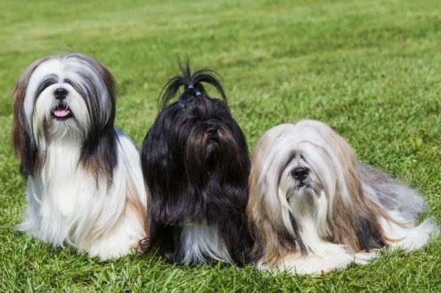 três lhasa apso na grama