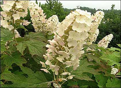 Oak Leaf Hydrangea form the PBS Vistory Garden