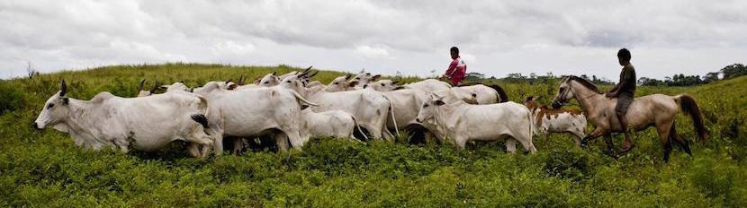 sumba-cattle-industry