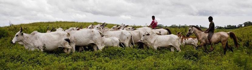 sumba-cattle-industry