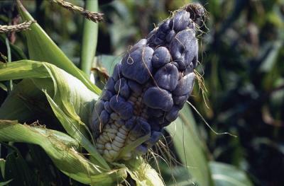 Мексиканский трюфель или уитлакоче: что это и зачем его едят