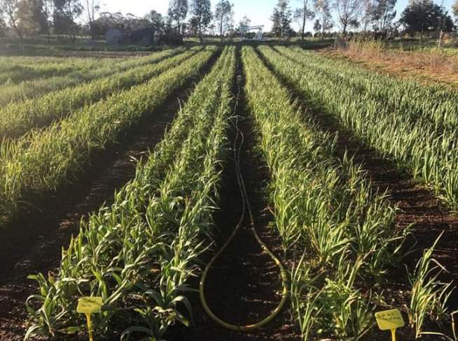 advantages and disadvantages of intercropping