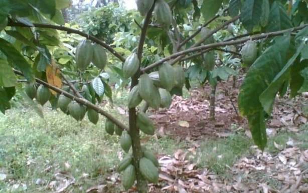 Cacao tree and its fruits