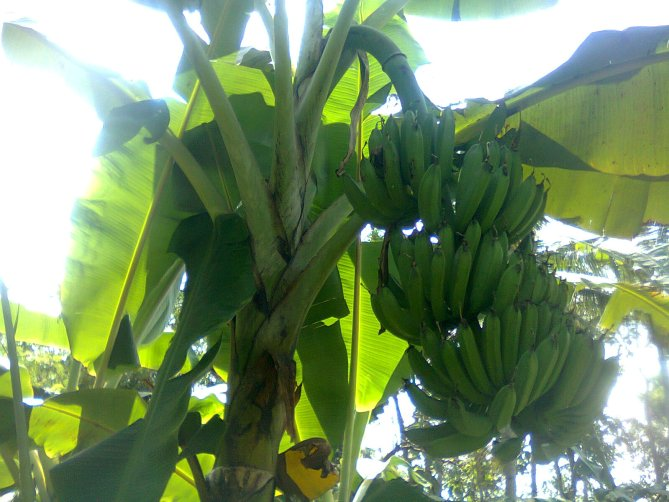Bacterial Wilt Resistant Saba Banana Cultivar