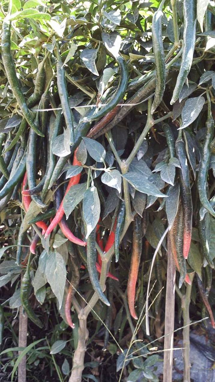 Lado F1 Hybrid Chili Crop with Plastic Mulch and Pole Markers