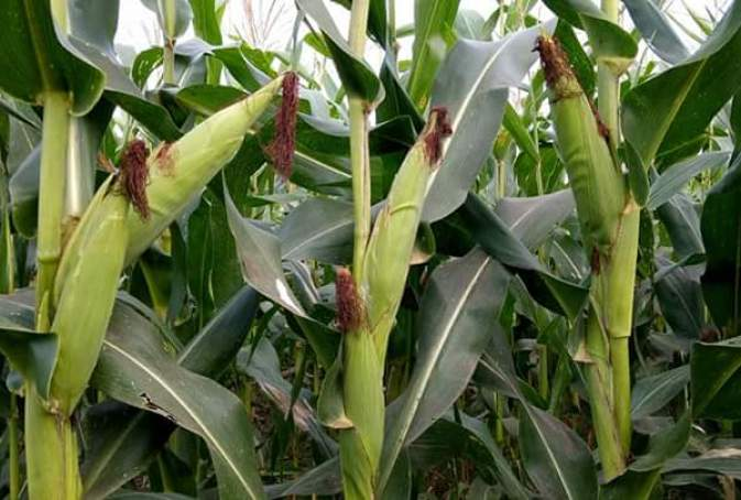 Disadvantages Of Monoculture Farming