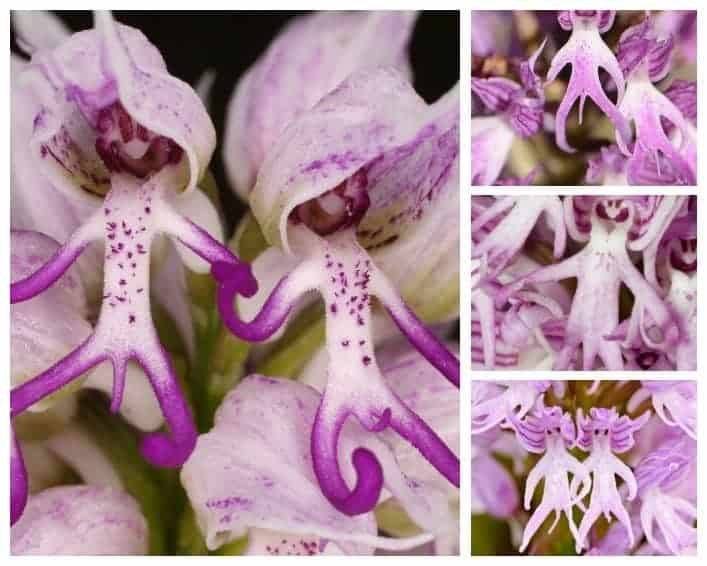 Naked Man Orchid Amazing Orchis Italica Flower 1001 Gardens