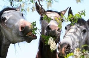 Drie paarden eten van een boom