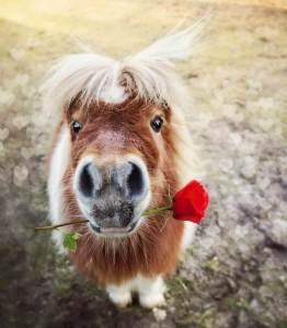 shetlandpony met een roos in zijn mond