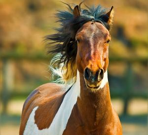 Bruin wit gevlekt paard in galop.