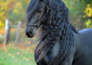 Zwart paard met gevlochten manen.