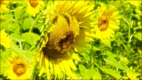 sunflower02