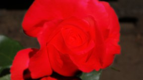rosecolor03