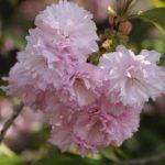 今頃に八重桜撮った。