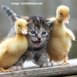 cute-cat-ducks