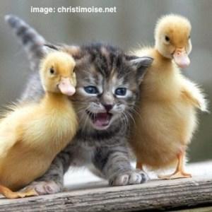 cute-cat-ducks