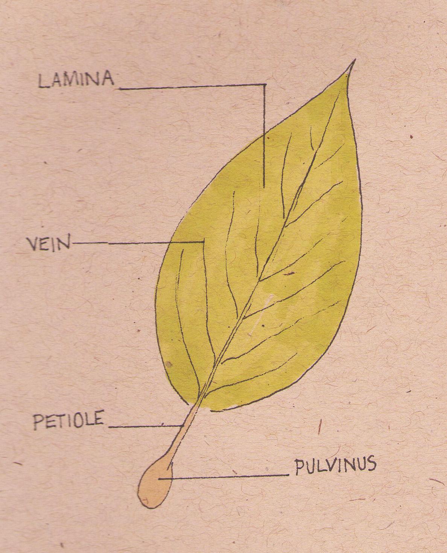 Diagram Of A Leaf
