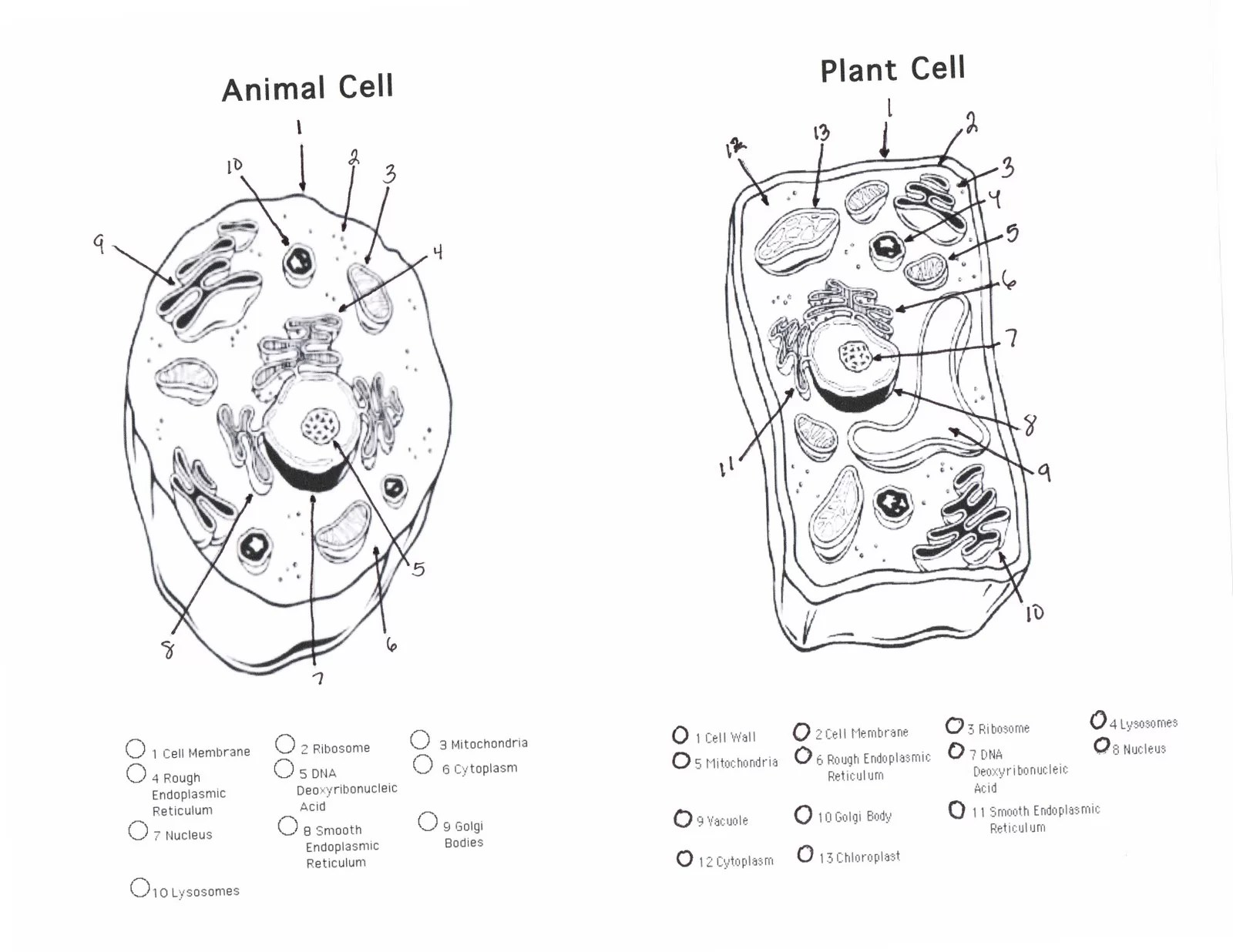 Animal And Plant Cell Diagrams