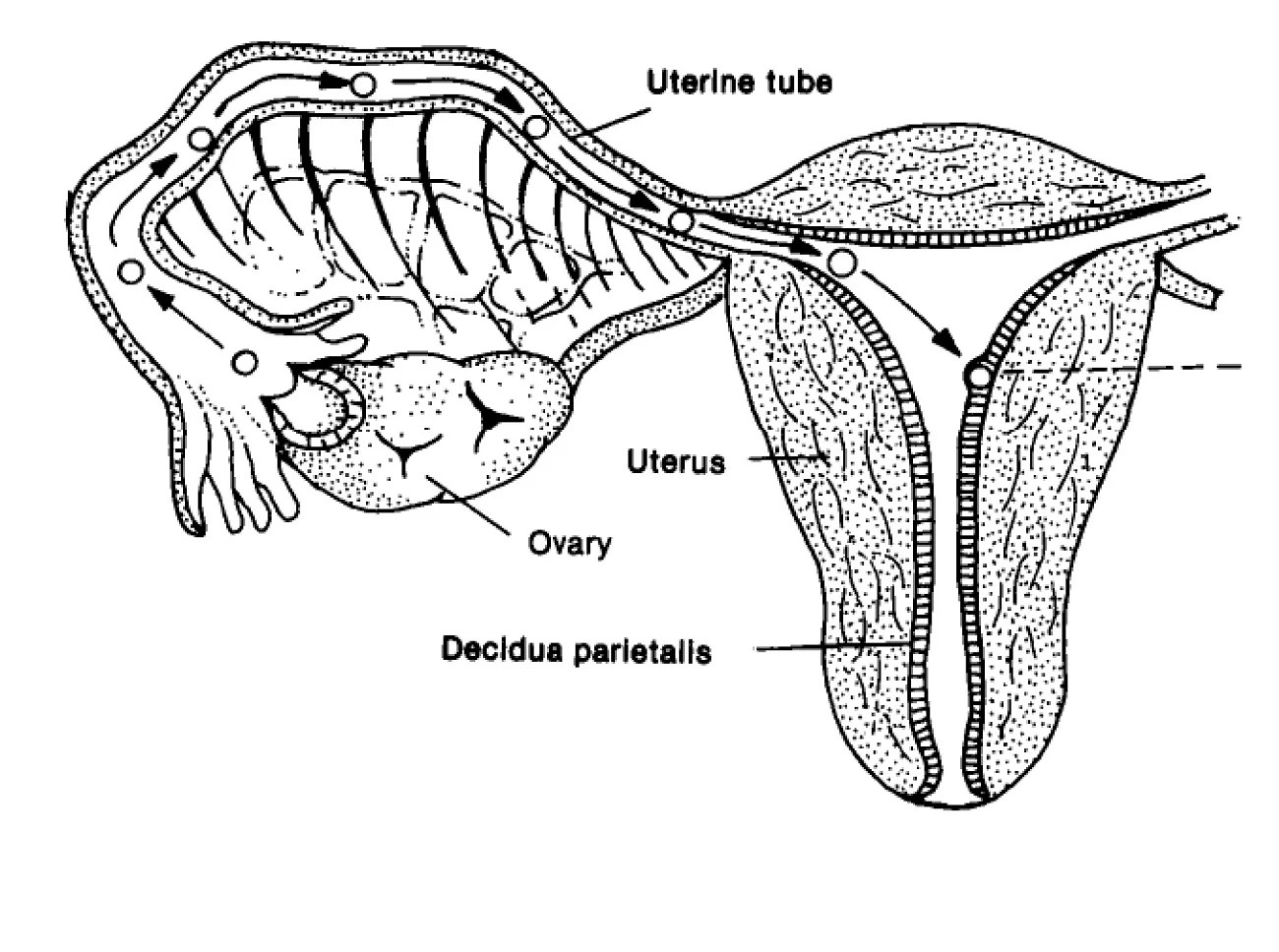 Diagrams Of The Female Reproductive System