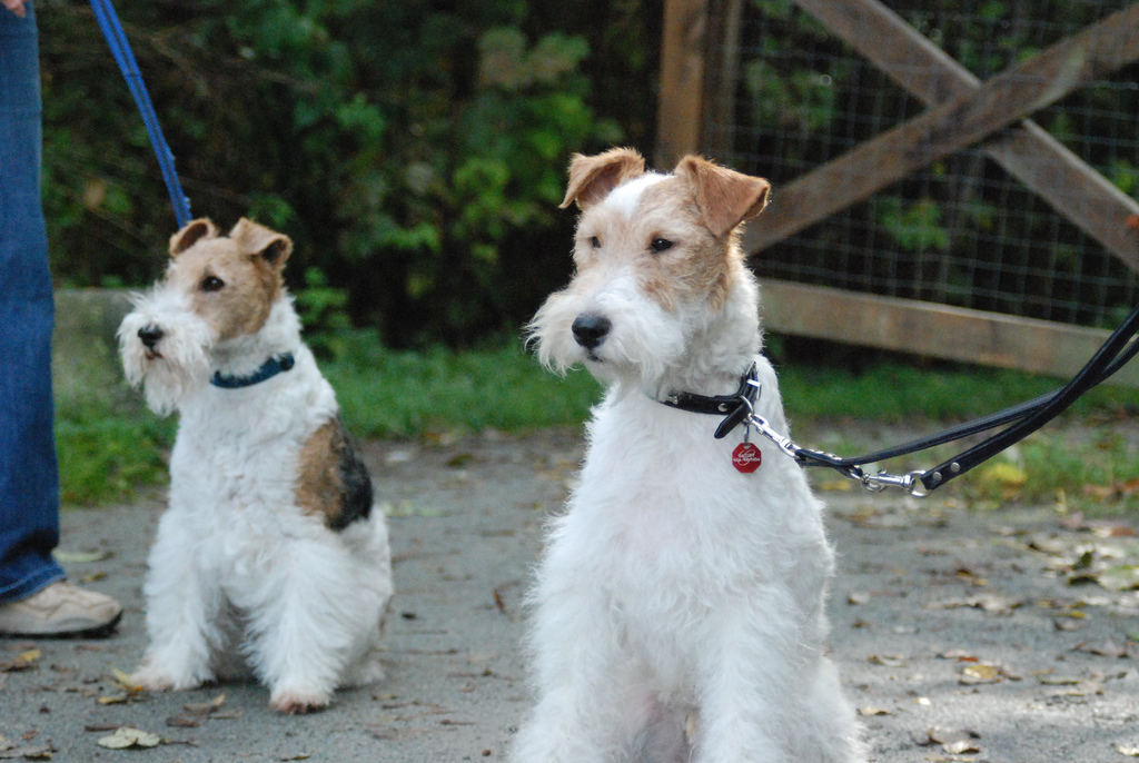 Wire Fox Terrier Rescue Texas - Dolgular.com