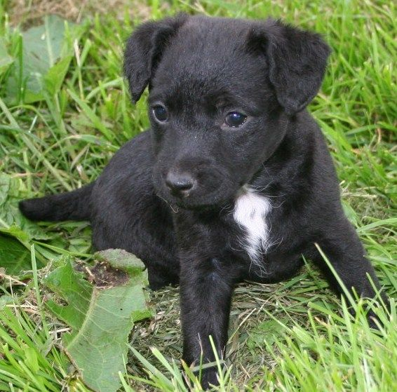 Patterdale Terrier Puppies Temperament Pictures