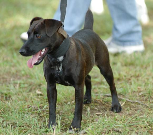 Patterdale Terrier Puppies Temperament Pictures