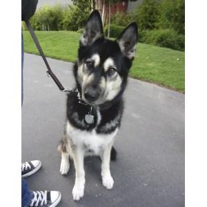 Arresting Sale Michigan Husky Mix Puppies Craigslist Se Two