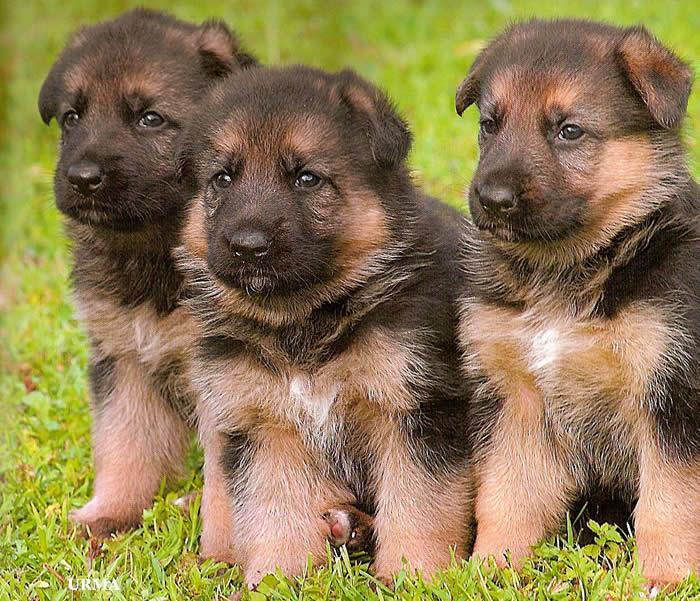 Mixed breed puppies free near me for Shar pei puppies for sale craigslist
