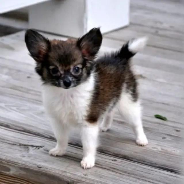 Full Grown Teacup Pomeranian Husky