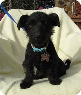 Scotchi Scottish Terrier Chihuahua Mix Info And Pictures