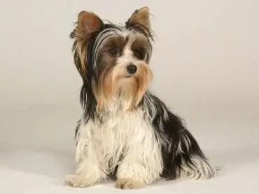 Biewer Terrier Info Temperament Puppies Pictures