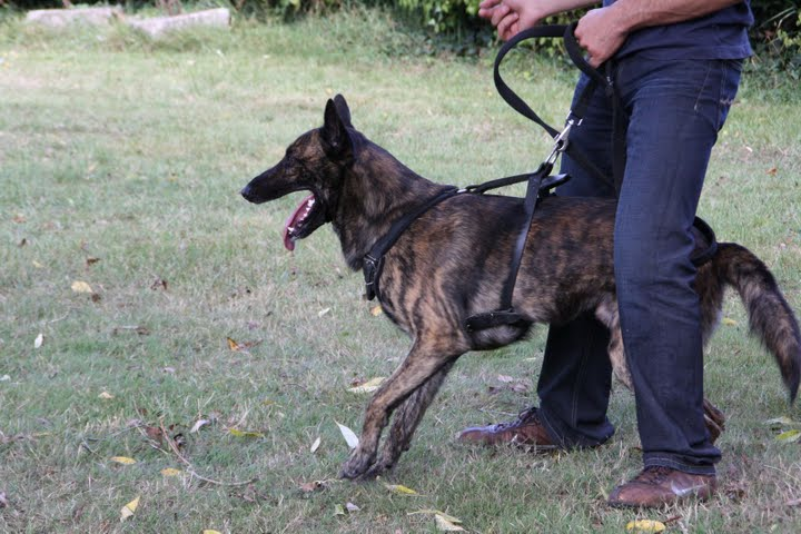 Dutch Shepherd Dog Info Temperament Puppies Training