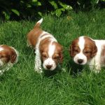 Welsh Springer Spaniel Info Temperament Puppies Pictures