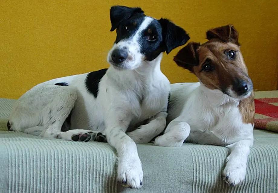 Smooth Fox Terrier Info Puppies Temperament History