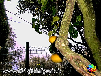 Anelli dei Limoni, a Pieve Alta