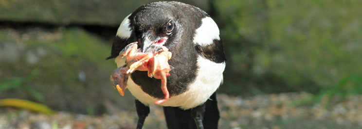 Magpies skator1