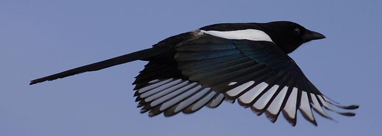 Magpies skator2