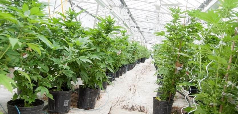 Buy Marijuana - RC Chemicals
