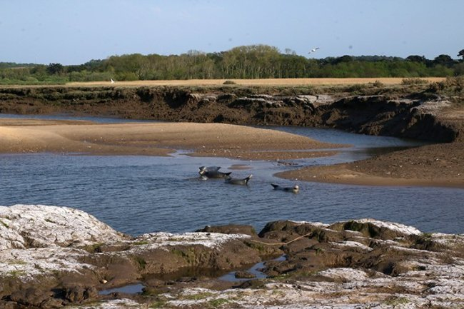 Bird watching in Norfolk: As well as the RSPB Titchwell Nature Reserve, make sure you visit Titchwell Beach to do some seal spotting. Image shows a group of common seals hauled up in the creek on creek.